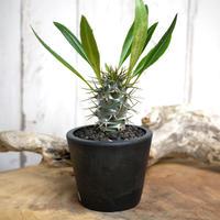 【実生】Pachypodium lamerei var. fiherenense パキポディウム・フィヘレネンセ FIH1