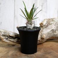 【実生】Pachypodium rosulatum var. gracilius パキポディウム・ロスラーツム・グラキリウス(グラキリス)GR8