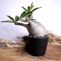 【発根済】Pachypodium rosulatum var. gracilius パキポディウム・ロスラーツム・グラキリウス(グラキリス)C