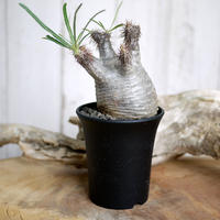 【発根済】Pachypodium rosulatum var. gracilius パキポディウム・ロスラーツム・グラキリウス(グラキリス)B