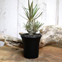 【実生】Pachypodium rosulatum var. gracilius パキポディウム・ロスラーツム・グラキリウス(グラキリス)GR4