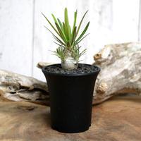 【実生】Pachypodium rosulatum var. gracilius パキポディウム・ロスラーツム・グラキリウス(グラキリス)GR3