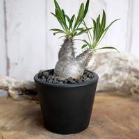 Pachypodium rosulatum var. gracilius パキポディウム・ロスラーツム・グラキリウス(グラキリス)S3