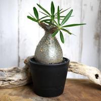 Pachypodium rosulatum var. gracilius パキポディウム・ロスラーツム・グラキリウス(グラキリス)Bottle type