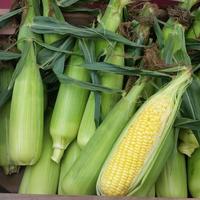 トウモロコシ  10本セット 2600円【無農薬のため、虫食い(先端を少し切り落としたもの)も入ります。ご了承下さいませ。】      (送料・税込)