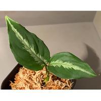 "Aglaonema pictum ""メサイア"" GW1507 from Padang sidempuan [TB]"