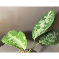Aglaonema pictum AP from Aceh sumatera [LA1115-02j]