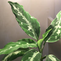 Aglaonema pictum from Sumatera A2 [TK070918]タグ付き