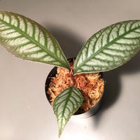 Ardisia sp. from Ache Sumatera [ L A]