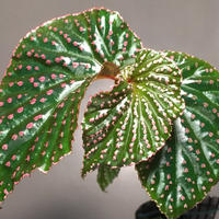 Begonia sp. from Saripoi [LA0813-2]