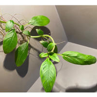Columnea spathulata [STRINGE PLANTS]