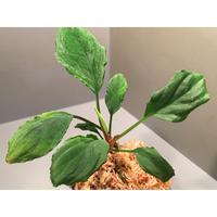 """Homalomena sp. Green """"Sabah-6"""" [R0515-03a]"""