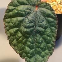Begonia sp. from Tuyen Quang  [YH1117] TKタグ付き