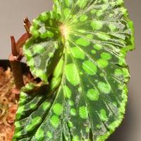 Begonia chlorosticta (Black) from Sarawak