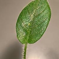 Schismatoglottis sp. from Kalimantan barat