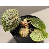 Begonia variegata from Viet Nam