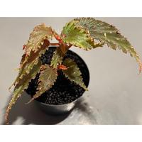 Begonia gracilicyma from Sumatera Barat [TB]