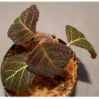 Pearcea hypocyrtiflora from Rio Napo Ecuador [tanakay]