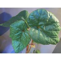 (大株) Begonia sp. from Na Hang ベトナム北部産 [TK]