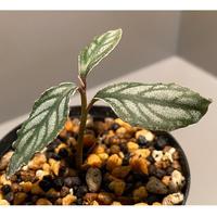 Ardisia sp. from Ache Sumatera [LA]