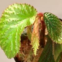 Begonia sp. from Tasik Kenyir [KZT 080118-3]