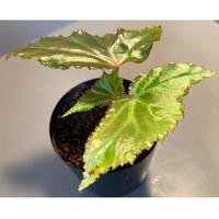 Begonia cf. laruei from Aceh sumatera [LA0216-02]
