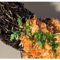 "Teratophyllum ""Birdwing-fern"" from Bentong [AZ0117-3]"