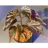 Begonia sp. ぼっち株 from Julau [R1214-01b]