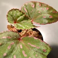 Begonia roseopunctata  fromPakan Malaysia  Sarawak [RIO]