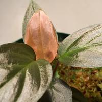 Homalomena Red Velvet × ? from Kepulauan Riau wf1 [KZT]