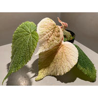 Begonia sp. from Viet Nam