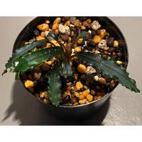 "Bucephalandra sp. ""Manget"" [MF0417-2A]"