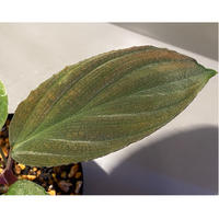 Homalomena humilis  from Cameron Highlands [TK150815]