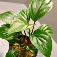 Homalomena sp. A from Sepuluh Koto wf1 (KZTタグ付き)