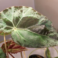 Begonia burkilli from Republic of India
