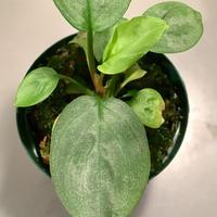 Homalomena sp. Emerald Silver x? from Kepulaun Riau wf1