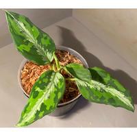 "Aglaonema pictum ""マルチカラー白玉"" D.F.S from Sumatera barat [AZ0912-1]"