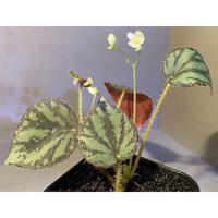 Begonia luzonensis