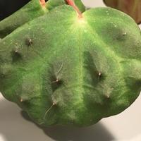 Begonia nahangensis from Na Hang [YH1117] TKタグ付き