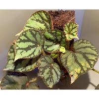 (大株) Begonia luzonensis (ヘゴ仕立て)