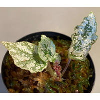 Begonia formosana from Taiwan