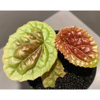 Begonia susaniae