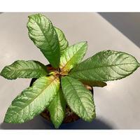 Codonoboea sp. from Pulau Linga [KN]
