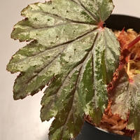 Begonia Hyb. (Halmahera x Aceh)