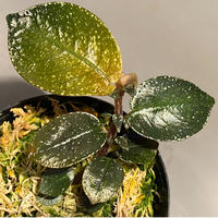Argostemma hookeri from Malay Peninsula