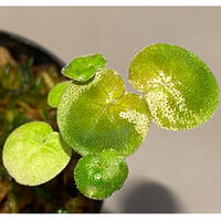 Geophila repens from Iquitos Peru [tanakay]