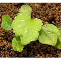 Begonia sp. from Sibu Sarawak