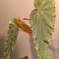 Begonia sp. from Malalak [TK110117]