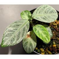 Acanthaceae gen. from Selangor alt 400 [TK050315]