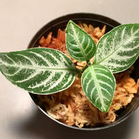 Acanthaceae gen. from Selangor alt.400 [TK050315]